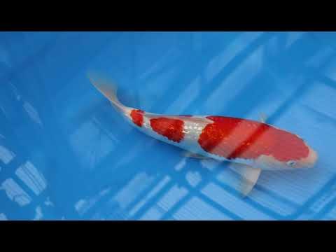 谷口銀鱗紅白39㎝ 横浜錦鯉