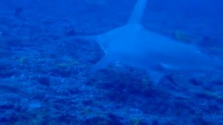 Le grand requin marteau