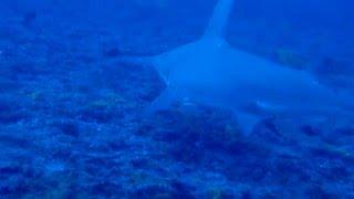 Le grand requin marteau