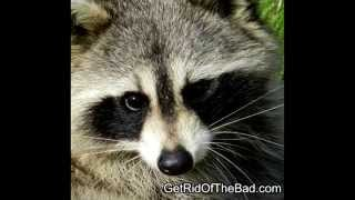 How to get rid of Raccoons fast!