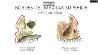 MAXILAR SUPERIOR/ANATOMÍA