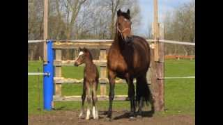 preview picture of video 'Holsteiner Filly by URIKO (*2013)'