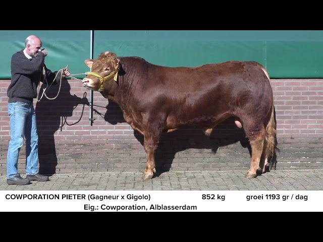 Limousin Cowporation Pieter NL681703045