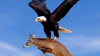 ОРЁЛ В ДЕЛЕ! Нападения орла на волка, собаку, кенгуру, ЧЕЛОВЕКА