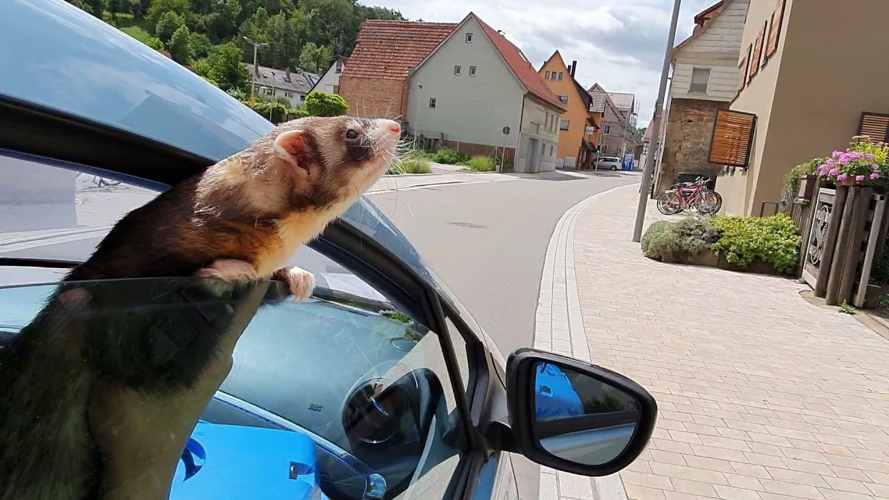 A Ferret Roadmovie