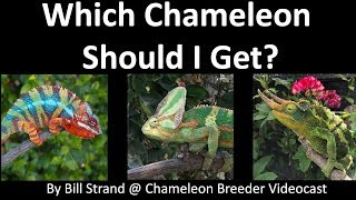 Which Chameleon Should I Get?
