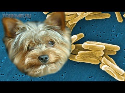 Туберкулез у собак   Причины   Симптомы   Лечение.