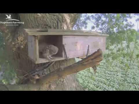 Steinkauz 20.06.2017 (Küken zu Besuch (DO))