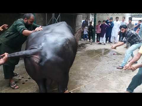 Big bull fighter Qurbani in Misri Shah, Furqan Saeed house