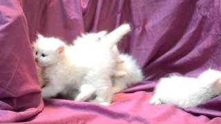 بيكي فيس للبيع وهاف بيكي - شيرازي للبيع - 33يوم -  bb : 2b0e9577 _ قطط حسن
