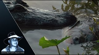 Alligator Eats Fish 02 Footage