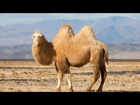 """БАКТРИАН: Двугорбый """"корабль пустыни""""   Интересные Факты про верблюдов"""