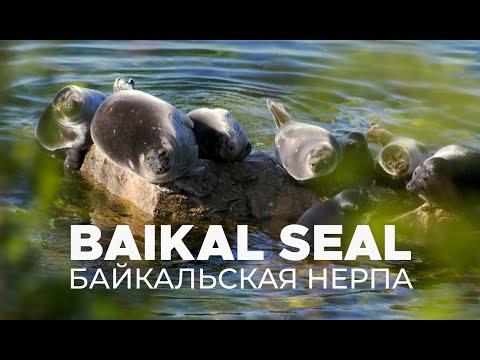 Nerpas, Baikalrobbe, Uschkani Inseln,Baikalsee,Russland