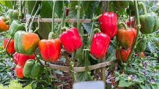 7 Tips For You To Grow Garden Full Of Peppers