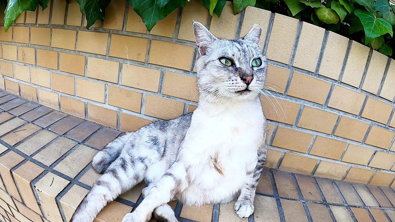 レンガに座っていたサバシロ猫が瞳をウルウルさせて甘えてきた