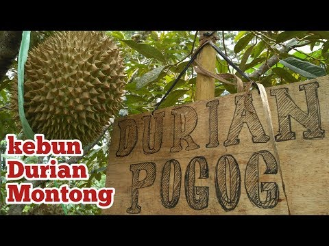 "kebun durian Montong tenger pogog Wonogiri   DUREN MONTONG SUPER JUMBO"""