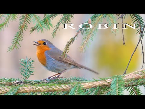 Robin. Singing and chirping bird. Beautiful bird song in the spring forest.