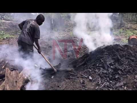 EBIBIRA BIGGWAWO: Abatuuze b'e Kalangala batemamu emiti