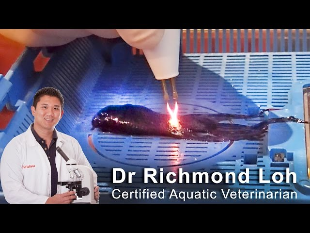 Surgical removal of tumour from a betta aquarium fish with fish Veterinarian Dr Loh
