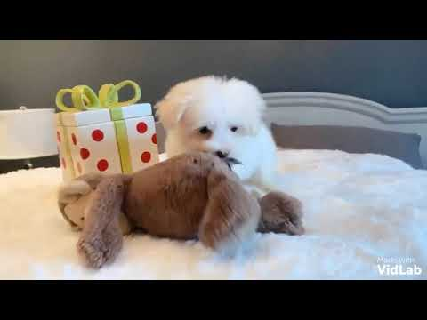 Jack is a beautiful, intelligent MaltiPoo. Jack has a beautiful, fluffy cotton coat