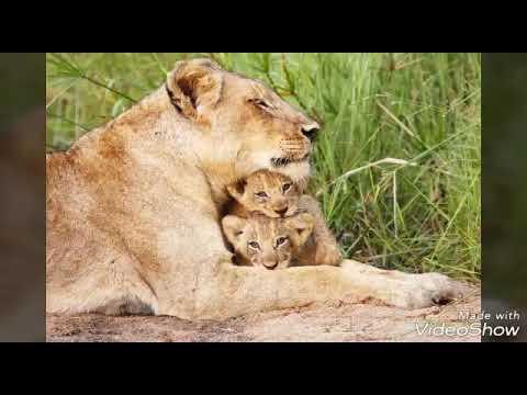 Картинки льва и не только.