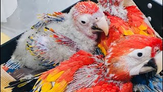 Grey Parrots Chicks And Scarlet Macaw Chicks By Abdullah Birds Farm