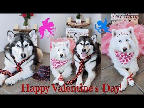 Malamute & Husky Romantic Valentine's Date