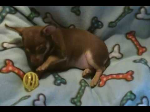 Isabellas Miss Salted Carmel Chocolate and Tan Female Puppy