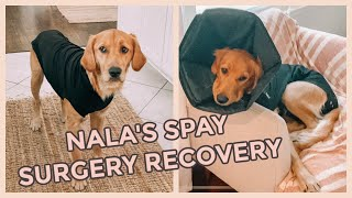 GETTING MY GOLDEN RETRIEVER FIXED// Spay Surgery Recovery
