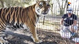 LIVE: Tiger Feeding at Big Cat Rescue | The Dodo LIVE