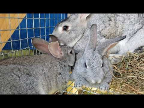 , title : 'American Chinchilla rabbits growing up and ready to go