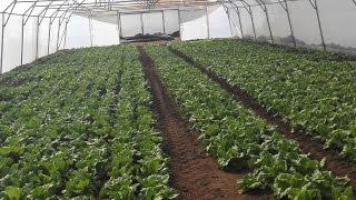 Ours vegetable tunnel farms 03459442750 Zain Ali Farming in Pakistan