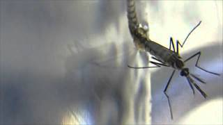 Genetic Variation: Genetically Modified Mosquitoes GMM