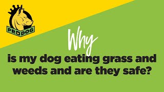 Why Is My Dog Eating Grass And Weeds - Are They Safe?