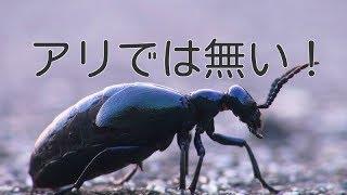 アリでは無い昆虫猛毒ツチハンミョウ