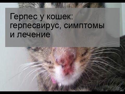 Герпес у кошек: герпесвирус, симптомы и лечение