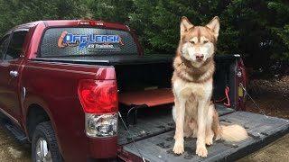 Huskies Can't be Off Leash Trained   2 Year Old Husky   Dog Training Stuarts Draft