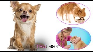The Ultimate Guide to Caring For The Chihuahua Dog