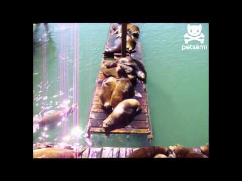 שנת הצהריים של אריות הים - מצחיק!