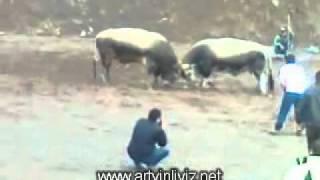 murgul 1.damar karagöl boğa güreşleri video 2011www.artvinliyiz.net