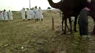 preview picture of video 'Riad 2009 / Caminando entre camellos 3'