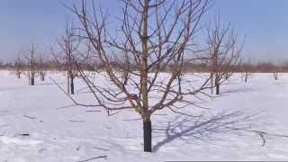 Смотреть онлайн Как правильно обрезать яблоню весной