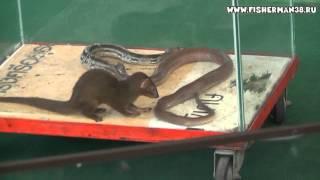 Шоу змей в Тайланде  Паттая. С участием Мангуста.
