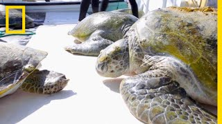 Mysterious Green Sea Turtles in the Persian Gulf Tracked By Scientists   National Geographic thumbnail