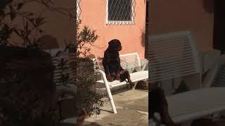 Perunpleo Rottweiler