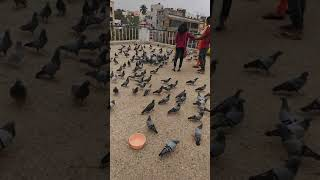 Hyderabad tank bund  pigeons full enjoy