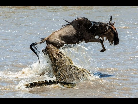 Crocodile Attack Baby wildebeest While drinking water, incredible Power of a Big Reptile