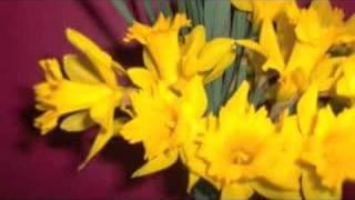 Daffodils And Wall