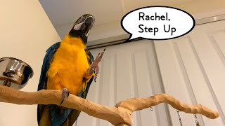 """Rachel Blue and Gold Macaw Says """"Step Up"""" and Talking"""