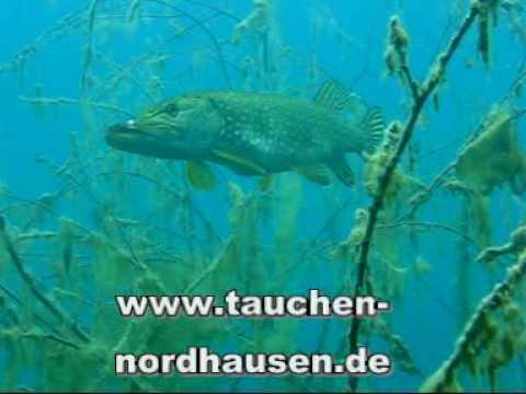 Stör bei tauchen-nordhausen.de, Stör bei Oasis,Thüringen,Deutschland